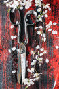 Vintage scissors and blossom branch top view on with of cherry tree on red wooden background Royalty Free Stock Images
