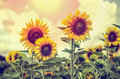 Vintage style of the Sunflower Royalty Free Stock Photo