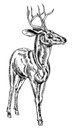 Vintage style woodcut stag deer a illustration of a buck or proudly standing and looking into the distance Stock Photos