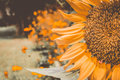Vintage Sunflowers,Sunflowers blooming,yellows flowers,sunflower field Royalty Free Stock Photo