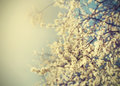 Vintage tree flower background photo of beautiful cherry tree. Royalty Free Stock Photo