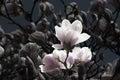 Vintaged Magnolias Royalty Free Stock Photo