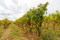 Vinyard in the ardeche Royalty Free Stock Photo