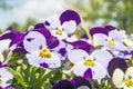Viola altaica in garden in spring Stock Images