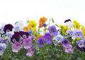 Viola border Royalty Free Stock Images