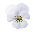 Viola flower Stock Photography