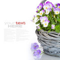 Viola flowers Stock Photography