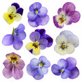 Viola flowers isolated on a white background Royalty Free Stock Photos