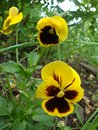 Viola flowers or pansies Royalty Free Stock Photo