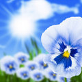 Viola flowers and sun Royalty Free Stock Photo