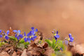 Viola flowers violet blue spring in the forest Royalty Free Stock Photos
