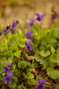 Viola odorata sweet violet english violet common violet garden violet Royalty Free Stock Images