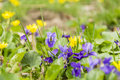 Viola odorata wood violet sweet violet english violet common violet florist s violet spring blossomed flowers of the species Stock Images
