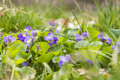 Viola odorata wood violet sweet violet english violet common violet garden violet beautifully blooming flowers of the species Stock Images