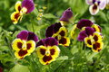 Viola. Pansies. Royalty Free Stock Photo
