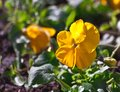 Viola pansies, yellow, sunny day Royalty Free Stock Photo