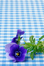 Viola pansy in close up of a on a blue gingham tablecloth with copy space Stock Photo