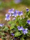 Viola plant a blooming in spring sunny day Stock Image