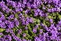 Viola (plant) Royalty Free Stock Photo