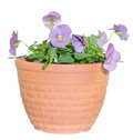 Viola in the pot pictured Royalty Free Stock Images
