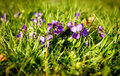 Viola small wild flowers in grass on a meadow Royalty Free Stock Photos