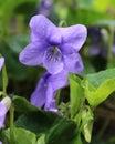 Viola Sororia Flower