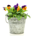 Viola in a tin can Royalty Free Stock Photo