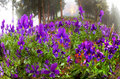Viola tricolor alpine slopes affected by felling trees overgrown with grass and flowers in the beginning for example thick fog Royalty Free Stock Image