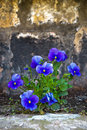 Viola tricolor beautiful blue flowers in the garden Royalty Free Stock Photos