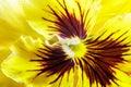 Viola tricolor beautiful yellow flower closeup Royalty Free Stock Photos
