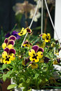 Viola tricolor flowers spring time Royalty Free Stock Image
