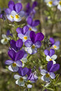 Viola tricolor growing on a swedish meadow Royalty Free Stock Image