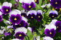 Viola tricolor a herbaceous annual or biennial sometimes perennial plant common in europe and the temperate regions of asia Royalty Free Stock Photos