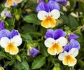 Viola tricolor in my garden Royalty Free Stock Images