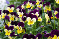 Viola tricolor nice yellow violet Stock Images