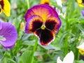 Viola tricolor red blue yellow Pansies on green flowerbed macro closeup