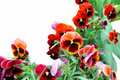 Viola tricolor red flowers on a white background Stock Images