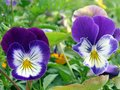 Viola Royalty Free Stock Photo