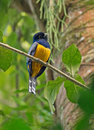 Violaceous trogon a pretty male looks around in the jungle at palenque mexico Stock Image