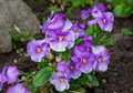 Violas or Pansies Royalty Free Stock Photography