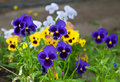 Violas or Pansies Royalty Free Stock Images