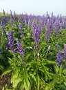 Violet angelonia flower field in the garden Stock Photography