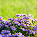 Violet Asters Stock Photos