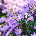 Violet asters flowers over background Stock Image