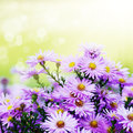Violet asters flowers over background Royalty Free Stock Photo