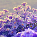 Violet asters flowers over background Royalty Free Stock Image