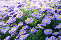 Violet asters flowers over bright background Stock Photography