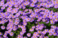 Violet asters flowers violet background Stock Image
