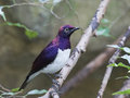 Violet-backed starling Cinnyricinclus leucogaster Royalty Free Stock Photo