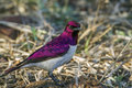Violet-backed starling in Kruger National park, South Africa Royalty Free Stock Photo